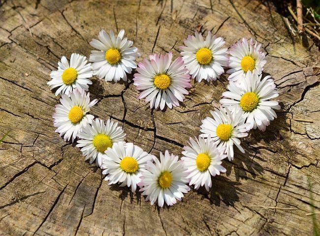 daisies-712892__480